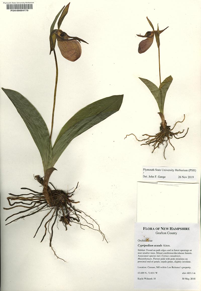 Cacaule specimen, PSU Herbarium